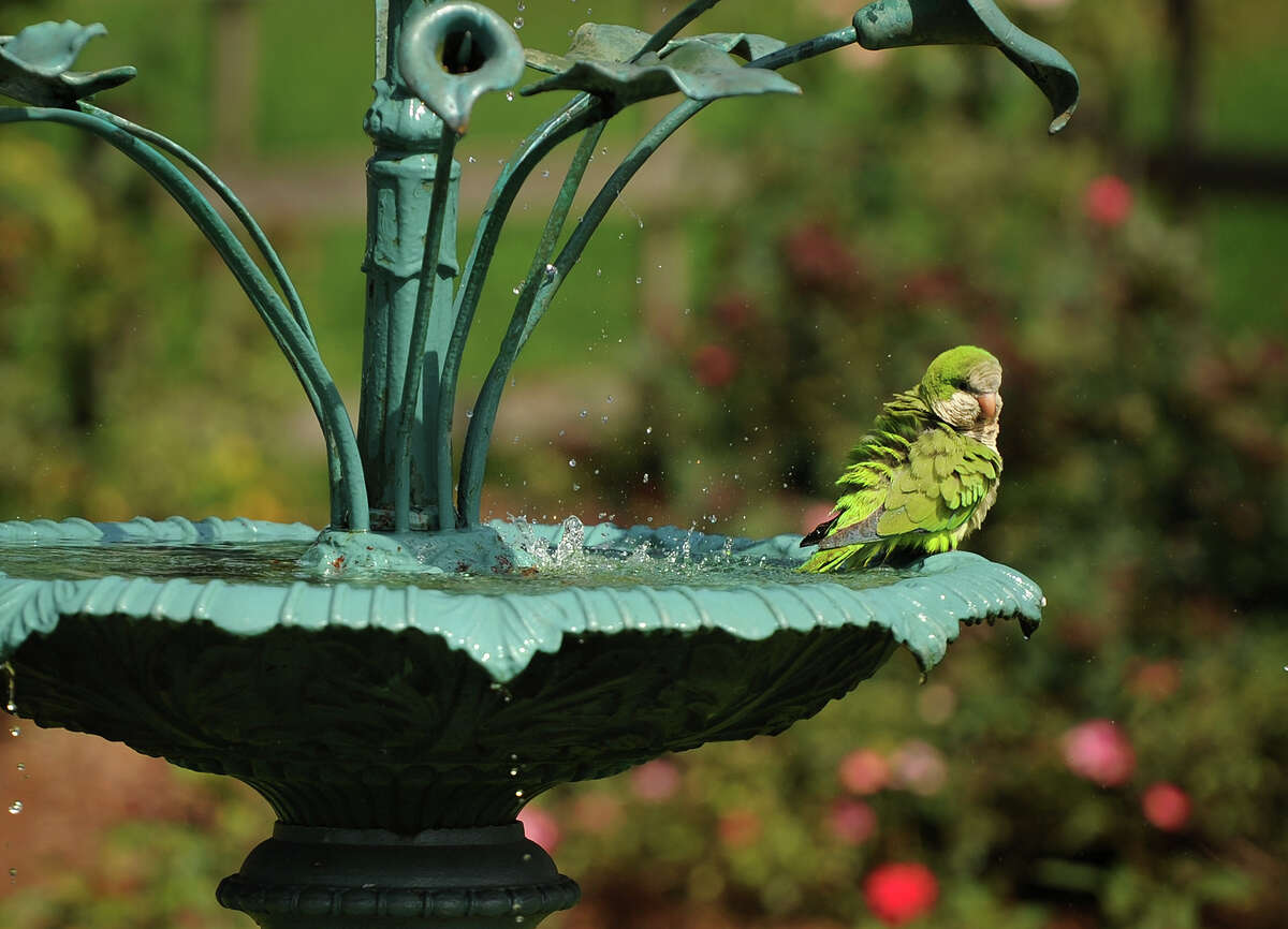 A monk parakeet keeps cool perched on the fountain in the rose garden at Boothe Park in Stratford, Conn. on Tuesday, July,31, 2018. The birds, a native of South America and a common sight in southern Connecticut towns , have established nests in the park.