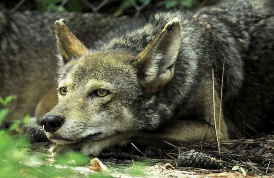 A key U.S. Senate committee has urged a federal wildlife agency to end a 30-year effort in North Carolina to save endangered red wolves from extinction. There are, in fact, several congressional efforts under way to weaken the Endangered Species Act. Photo: John D. Simmons /TNS / Charlotte Observer