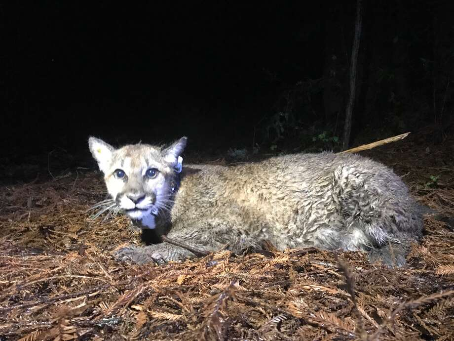 P6, a subadult mountain lion, was killed with depredation permit in Glen Ellen, Calif. in late July 2018. Photo: Audubon Canyon Ranch