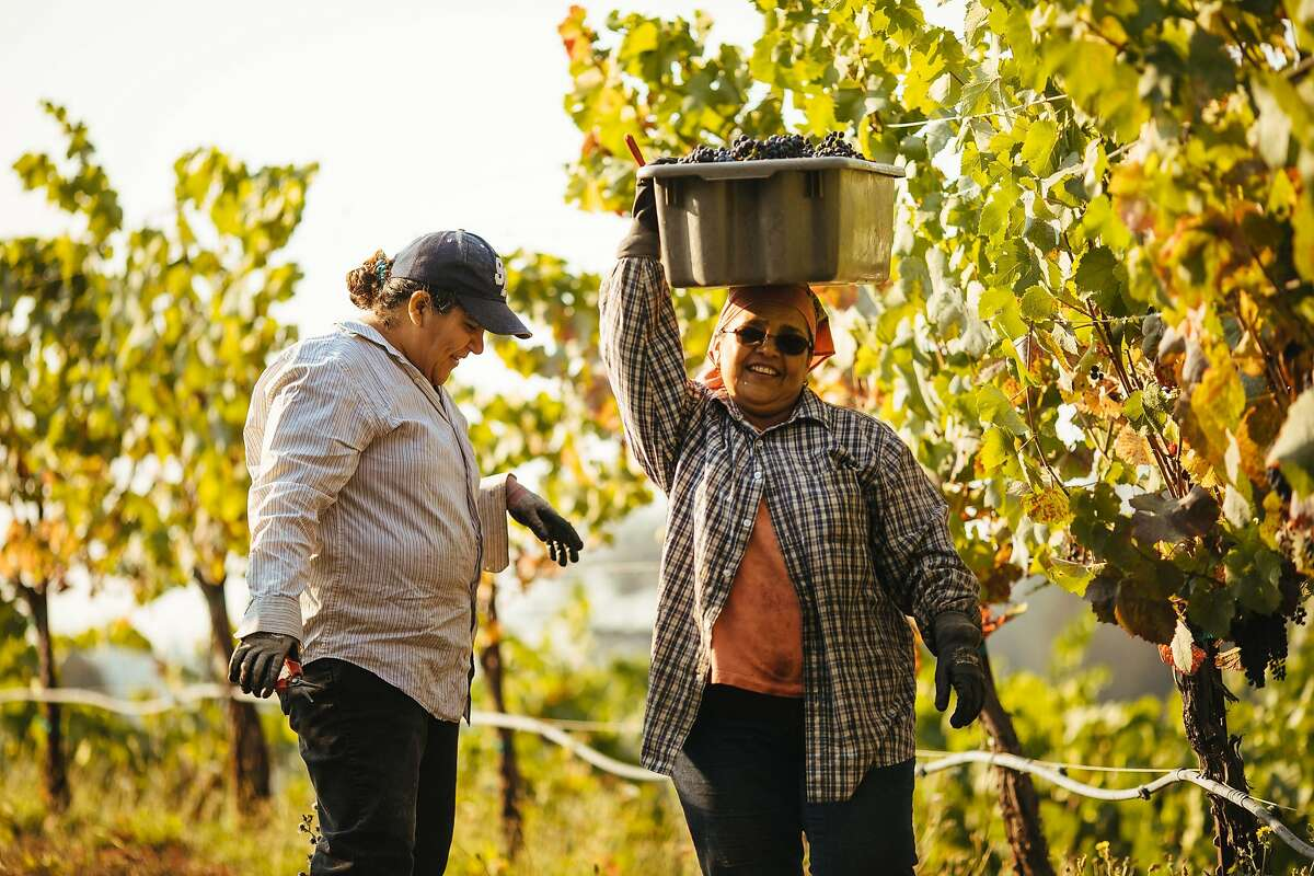 Nuria Hernandez, left, and Maria Echavarria, share a laugh as they harvest grapes together at Porter Creek Vineyard in Healdsburg, Calif. Friday, September 1, 2017.