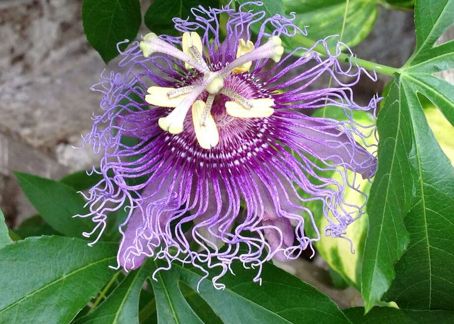 Passionflowers can produce fruit, which is used for juice. Photo: Courtesy