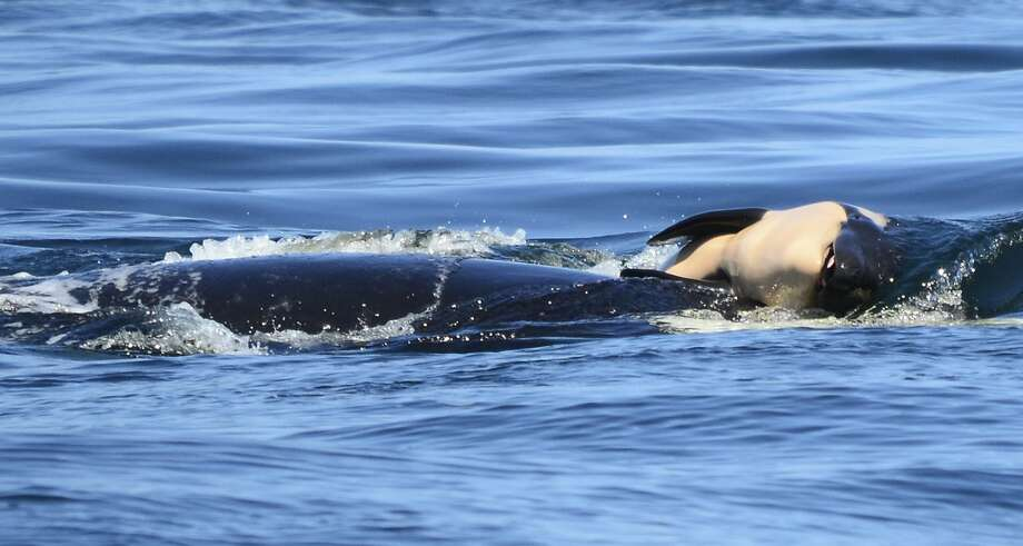 FILE - In this file photo taken Tuesday, July 24, 2018, provided by the Center for Whale Research, a baby orca whale is being pushed by her mother after being born off the Canada coast near Victoria, British Columbia. Whale researchers are keeping close watch on an endangered orca that has spent the past week carrying and keeping her dead calf afloat in Pacific Northwest waters. The display has struck an emotional chord around the world and highlighted the plight of the declining population of southern resident killer whales that has not seen a successful birth since 2015.(Michael Weiss/Center for Whale Research via AP) Photo: Michael Weiss / Associated Press