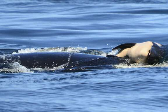 FILE - In this file photo taken Tuesday, July 24, 2018, provided by the Center for Whale Research, a baby orca whale is being pushed by her mother after being born off the Canada coast near Victoria, British Columbia. Whale researchers are keeping close watch on an endangered orca that has spent the past week carrying and keeping her dead calf afloat in Pacific Northwest waters. The display has struck an emotional chord around the world and highlighted the plight of the declining population of southern resident killer whales that has not seen a successful birth since 2015.(Michael Weiss/Center for Whale Research via AP)