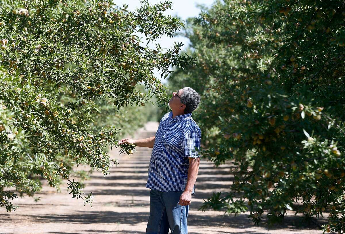 Jon Camacho inspects his crop of 1,300 almond trees on the 10 acre orchard at his farm in Ripon, Calif. on Wednesday, Aug. 1, 2018. Camacho, anticipating as much as 30,000 pounds of almonds in the upcoming harvest, is concerned that tariffs threatened by China in the trade dispute with the United States could affect his bottom line.