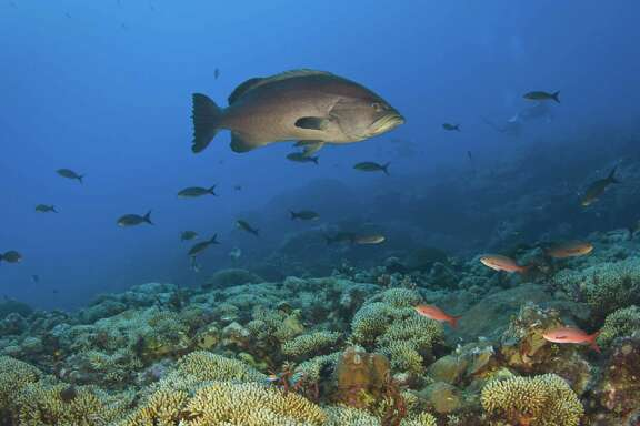 A thriving, healthy coral reef is shown. Plans to expand protec tions to hundreds of miles of Gulf of Mexico deep-sea coral await federal approval.