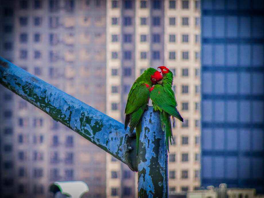 Two red-masked parakeets — more commonly known as wild parrots in San Francisco — enjoy a moment downtown. Photo: Ted Pollak