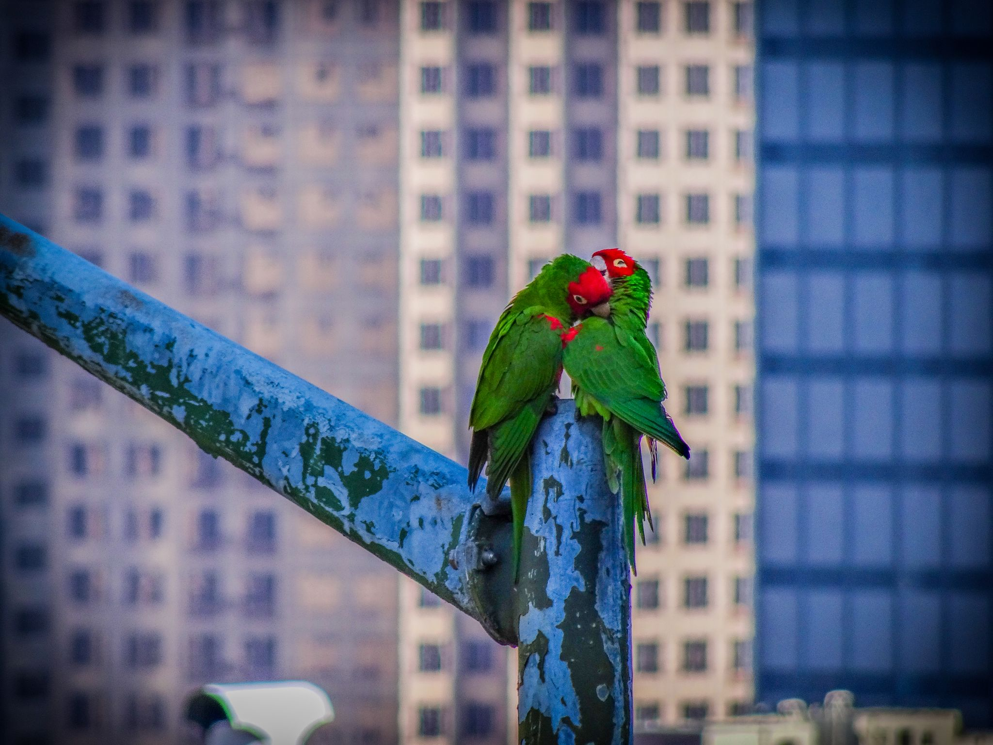 Video, photos capture Telegraph Hill's famous parrots