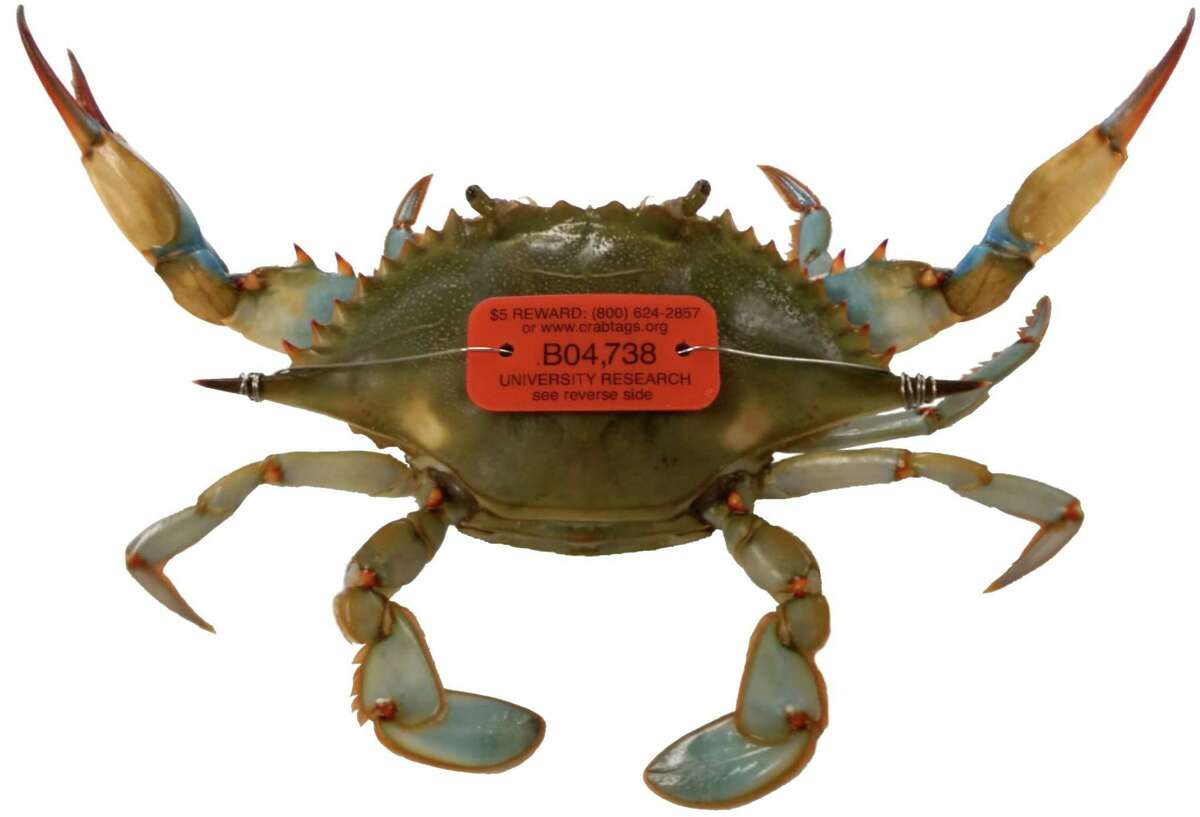 Researchers from Florida to Texas have fit plastic tags to about 17,000 adult female blue crabs and hope to tag more than 20,000 as part of an effort to learn more about the crustaceans' spawning areas. Those who recapture and report the tags are eligible for a reward.