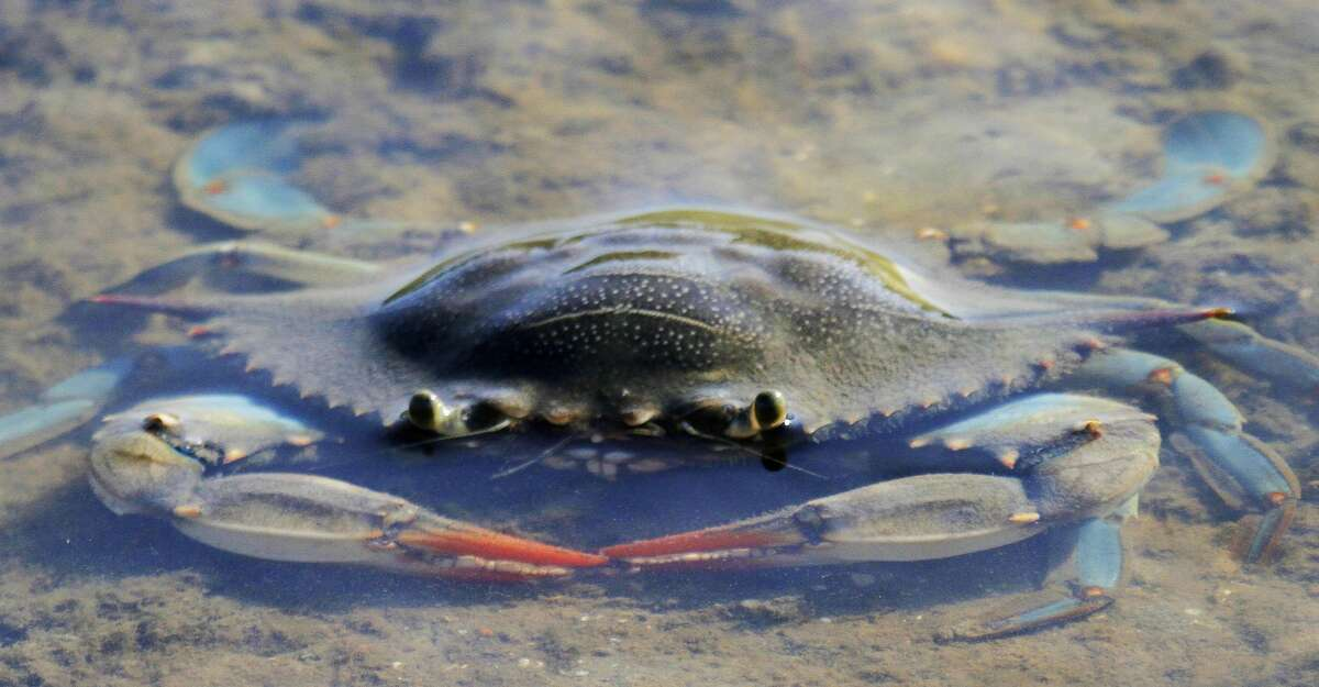 A study tracking movements of adult female blue crabs aims to learn more about where these ecologically, economically, social and culturally valuable crustaceans spawn - knowledge that could show connections between crab populations in different bay systems.