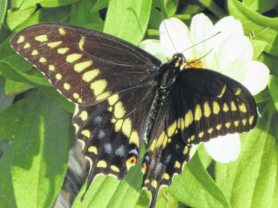 A black swallowtail butterfly feeds on nectar from a profusion white zinnia in a rural Greenfield yard.
