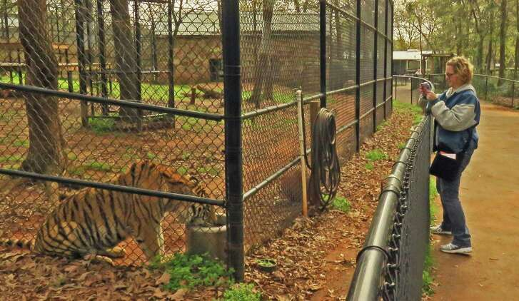 A vistor at the Tiger Creek Animal Sanctuary takes a photo at the enclosure while a tiger is drinking.