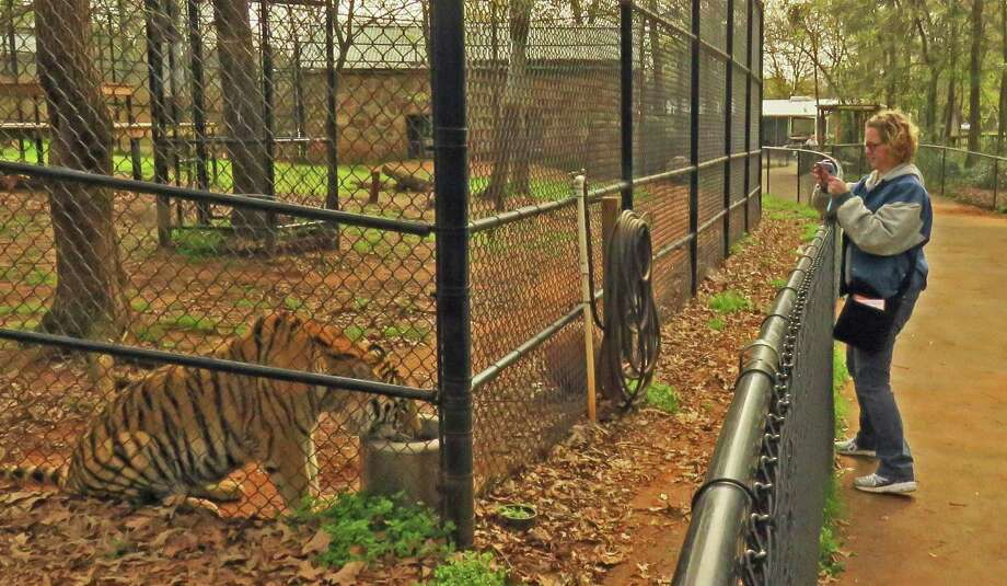 A vistor at the Tiger Creek Animal Sanctuary takes a photo at the enclosure while a tiger is drinking. Photo: John Goodspeed /Contributor