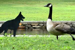 A Canada goose ignores a dog decoy at the North Street Duck Pond in Milford on July 23, 2018. The problem of Canada geese and their poop was the subject of Mayor Benjamin Blake's State of the City speech on Thursday, August 2, 2018.