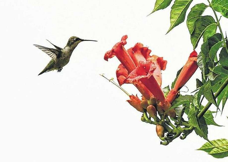 A hummingbird hovers over a flower while preparing to gather nectar.