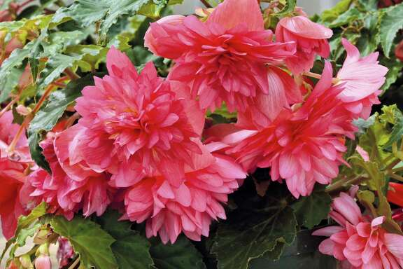 Funky Pink begonia is an interspecific cross between Begonia boliviensis and B. tuberosa.