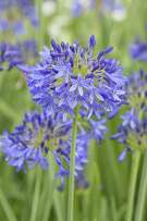 Agapanthus, or lily of the Nile, blooms with a soft blue burst of flowers.