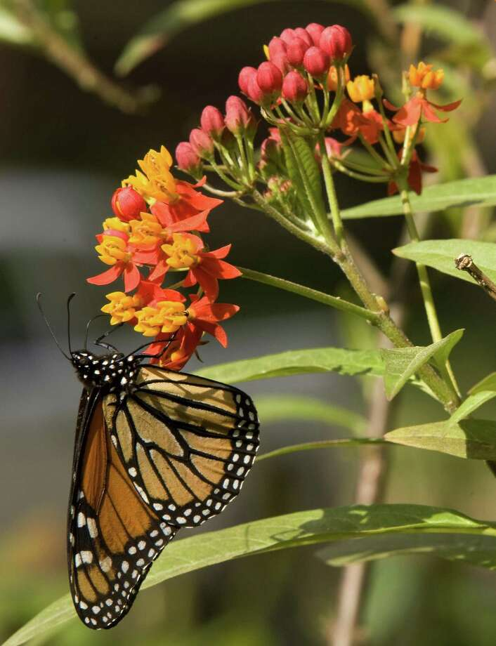 A monarch butterfly lands on the butterfly weed variety of milkweed, common in Houston. Photo: Brett Coomer, Staff / Houston Chronicle / © 2008 Houston Chronicle