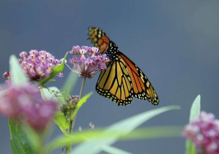 A monarch butterfly eats nectar from a swamp milkweed.