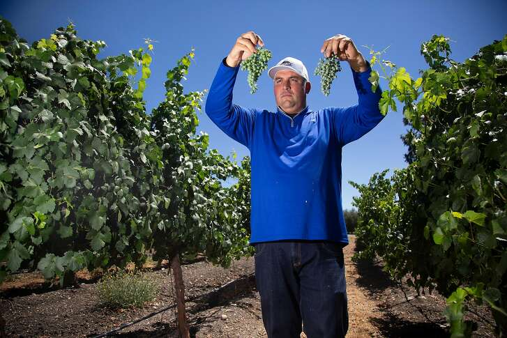Andrew Jones, of Sunridge Nurseries, holds a cluster of Graciano grapes, left, and one of Mourvedre grapes on right at their property on Friday, 8/3, 2018 near Paso Robles, California. Hundreds of thousands of plants believed to be a Spanish clone of the Mourvedre grape ultimately turned out to be Graciano, an obscure variety from Rioja.