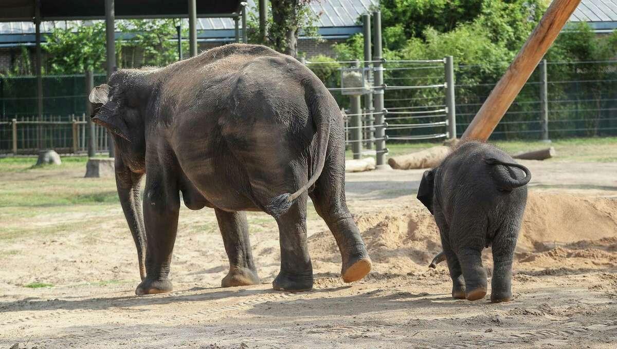 Joy, follows her mother, Shanti, at the Houston Zoo Monday, July 30, 2018, in Houston. ( Steve Gonzales / Houston Chronicle )