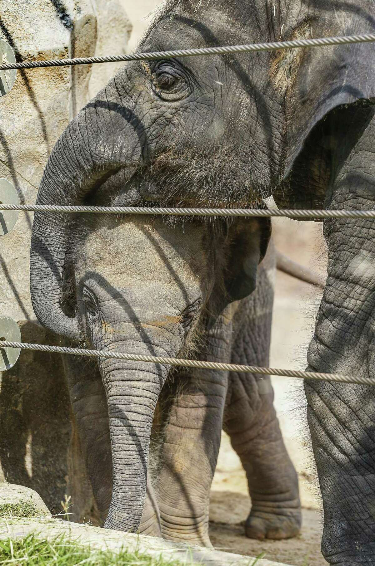 Joy (right) plays with Tilly, born June 17th, the newest addition to the elephants at the Houston Zoo Monday, July 30, 2018, in Houston. ( Steve Gonzales / Houston Chronicle )