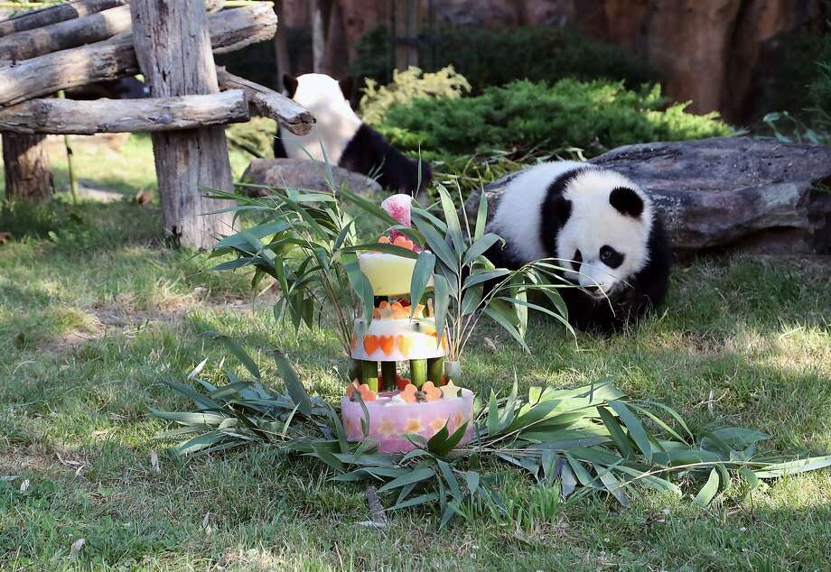 France's first baby panda Yuan Meng celebrates his first birthday with a birthday cake composed of bamboo, honey, apples, oranges, strawberries and lemons, at the ZooParc de Beauval in Beauval, central France, Saturday Aug. 4, 2018. Yuan Meng weighs about 30 kilograms (66 pounds), has recently started eating bamboo and still suckles his mother Huan Huan's milk. (ZooParc de Beauval via AP) Photo: Associated Press