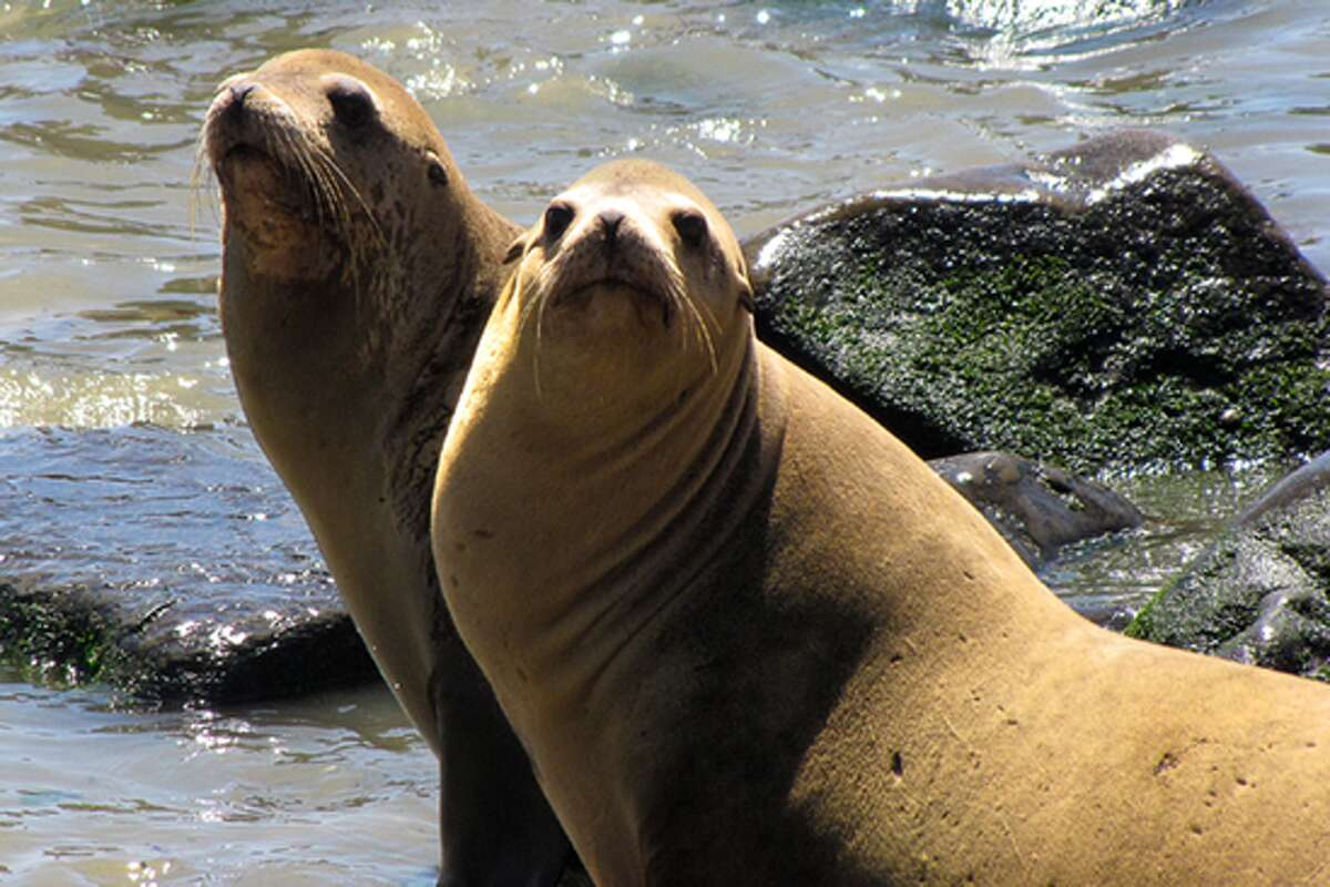 Following another necropsy, a 10th sea lion has been confirmed to be shot and killed in Puget Sound, according to theSeal Sitters Marine Mammal Stranding Network. The group, which responds to reports of stranded or dead sea lions,noted on their blog on Sunday morningthat the shot sea lion now totals 10.