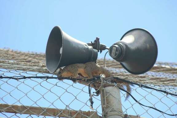 This squirrel stayed on top of the Lee Field backstop for hours as games were taking place. For its dedication, it earned one of our summer baseball awards.
