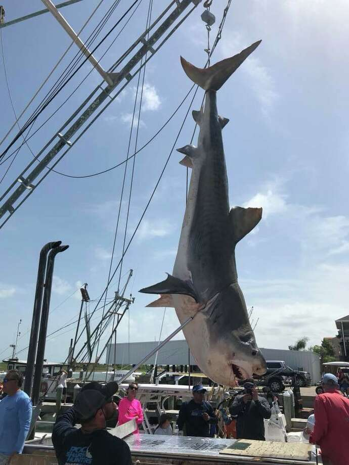Click ahead to view sharks caught off the Texas coast this year. A team of anglers participating in a Port O'Connor fishing tournament reeled in a 12-foot tiger shark on Saturday, Aug. 4, 2018. Photo: Mark Robinson