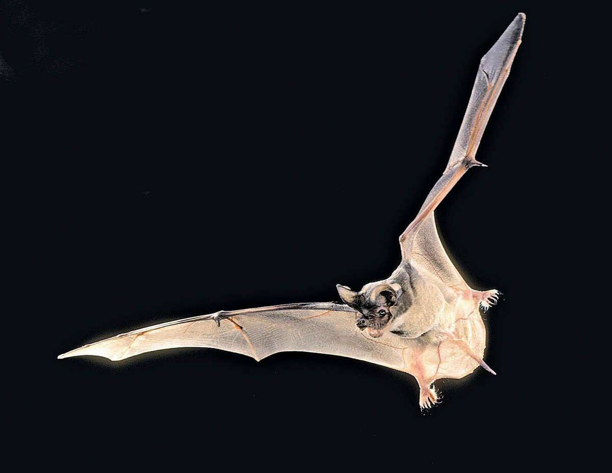 SARS Bats carry severe acute respiratory syndrome and related viruses called coronaviruses. Most of them are harmless to humans, according to UC Davis School of Veterinary Medicine.