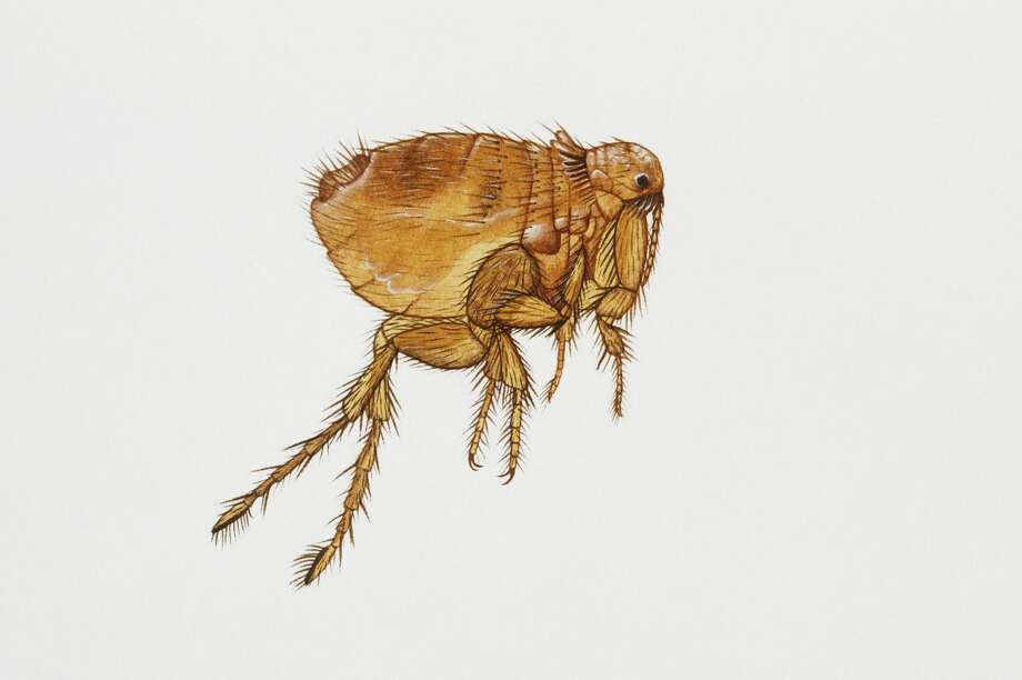 UNSPECIFIED - FEBRUARY 23: Cat flea (Ctenocephalides felis), Pulicidae. Artwork by Rebecca hardy. (Photo by DeAgostini/Getty Images) Photo: De Agostini Picture Library/De Agostini/Getty Images