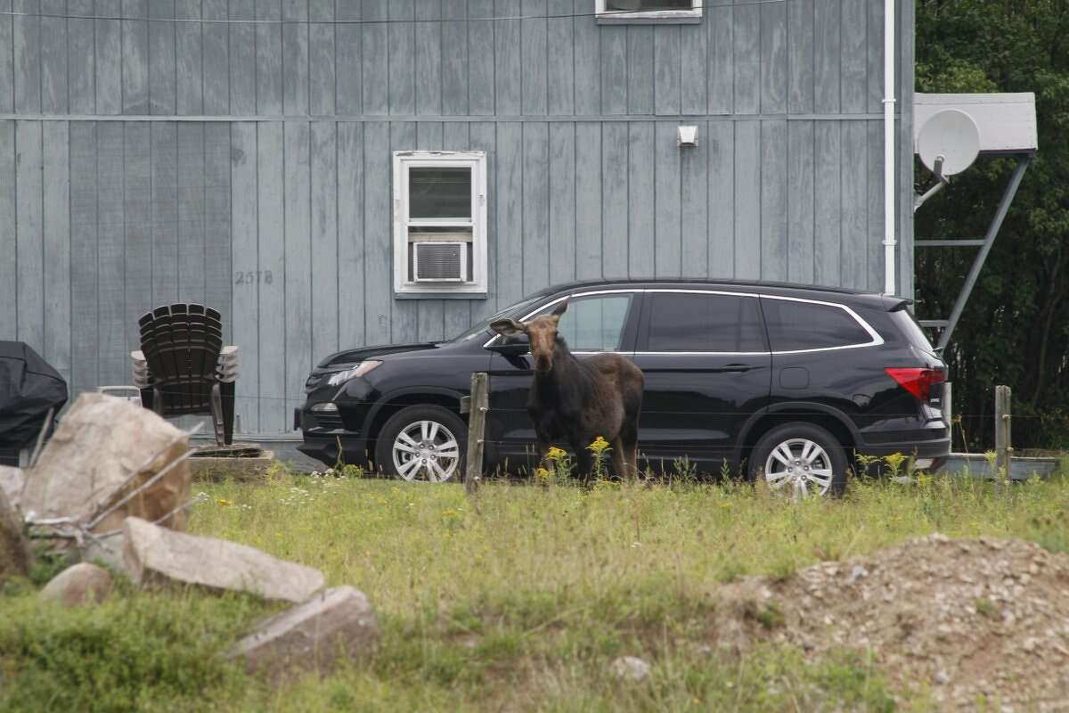 A moose that wandered into a fence-in area last week was rescued by state Department of Environmental Conservation staff and a veterinarian who transported the animal to a more secluded part of the Adirondack Mountains.