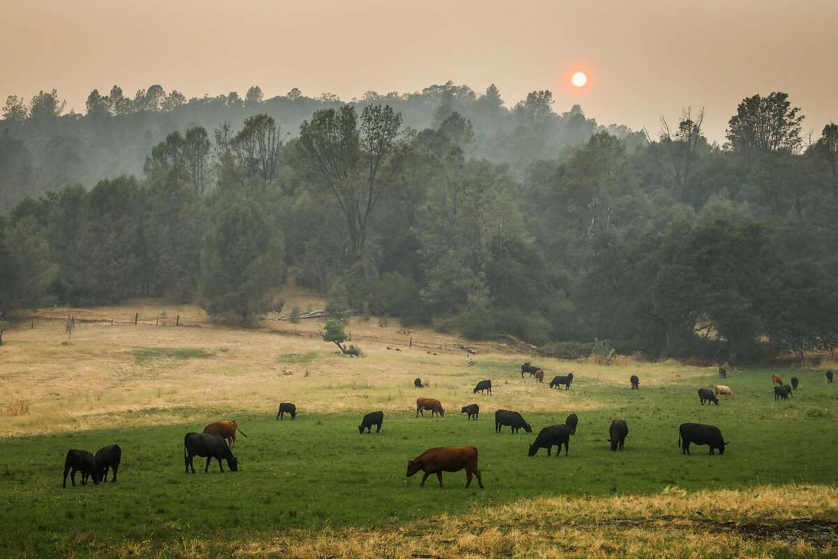 Cows graze under a smoky sunset while the Carr Fire burns nearby in Igo, California, on Saturday, July 28, 2018.