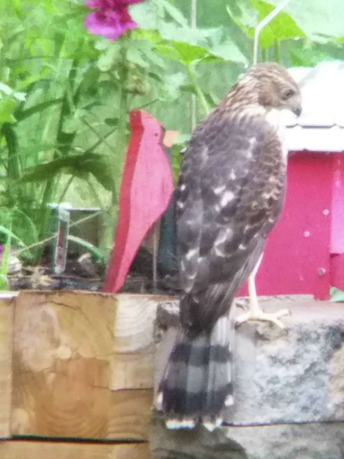 A Coopers hawk rests at the edge of a backyard garden in North Greenbush in this photo from Rosemary Ostwald, Troy.