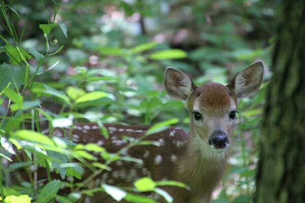 "Denise Walling of Clifton Park encountered this little guy hiding in one of her gardens. ""No doubt mama deer was not too far away."""