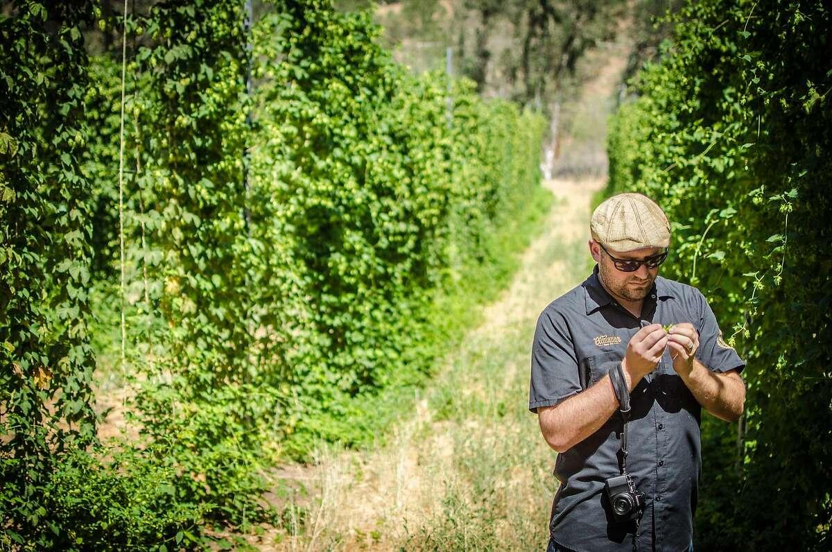 Jesse Friedman of Almanac beer examines a hop flower at Hops-Meister Farm in Clear Lake.