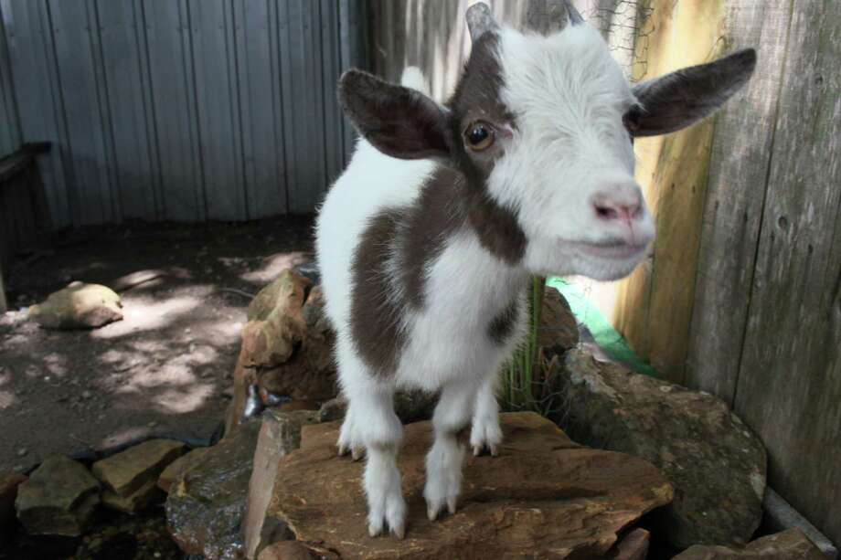 Ramsey, a pygmy goat, stands on a rocky pond located in the back of Nana's Main Street Cottage. Tomball city council voted on Monday, August 6, 2018 to reclassify pygmy goats as non-livestock animals. Photo: Mayra Cruz