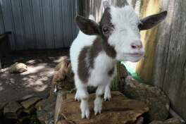 Ramsey, a pygmy goat, stands on a rocky pond located in the back of Nana's Main Street Cottage. Tomball city council voted on Monday, August 6, 2018 to reclassify pygmy goats as non-livestock animals.