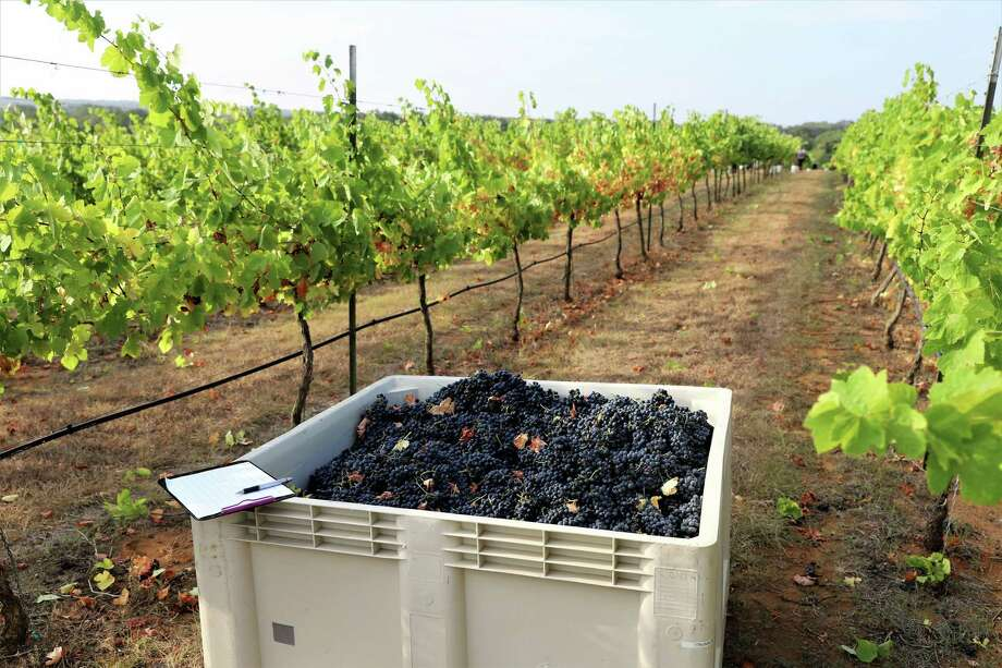 Pictured are grapes harvested on the Texas Hill Country for Pedernales Cellars. Photo: Courtesy Photo
