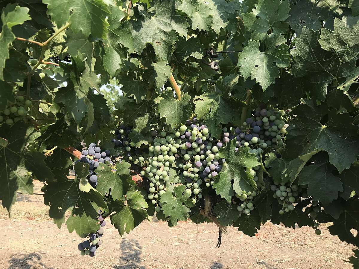 Cabernet Sauvignon grapes in the middle of veraison at Corison winery in St. Helena