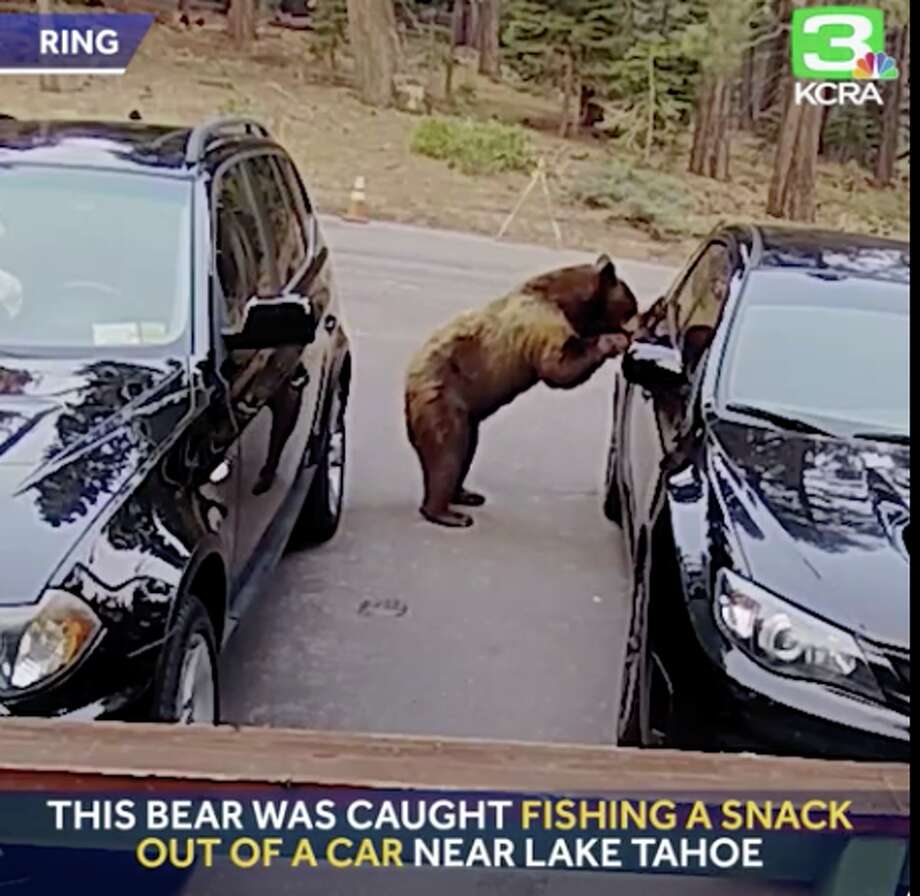 Video captured by a Ring camera shows a bear in South Lake Tahoe open up a car door and swipe an evening snack. Photo: KCRA