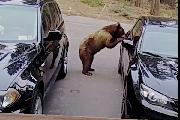 Video captured by a Ring camera shows a bear in South Lake Tahoe open up a car door and swipe an evening snack.