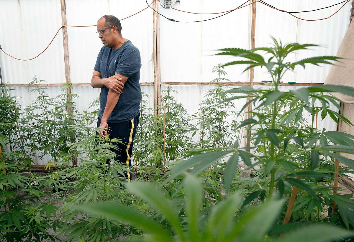 Alexis Bronson tends to his marijuana plants in the greenhouse at his home in Oakland, Calif. on Wednesday, Aug. 8, 2018. Bronson's plan to expand his cloned marijuana plant operation came to an abrupt end when his venture through Oakland's cannabis equity program never materialized and has now lost his cultivation permit issued by the state Bureau of Cannabis Control.