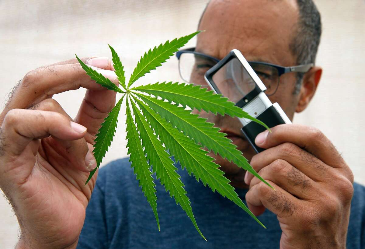 Alexis Bronson examines a cannabis leaf with a magnifying glass in the greenhouse at his home in Oakland, Calif. on Wednesday, Aug. 8, 2018. Bronson's plan to expand his cloned marijuana plant operation came to an abrupt end when his venture through Oakland's cannabis equity program never materialized and has now lost his cultivation permit issued by the state Bureau of Cannabis Control.
