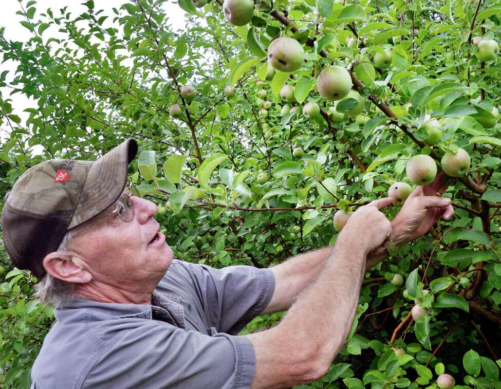 Farmer Craig DeVoe points out apple scab, a fungus affecting his McIntosh crop at DeVoe's Rainbow Orchard Wednesday August 8, 2018 in Clifton Park, NY. (John Carl D'Annibale/Times Union)