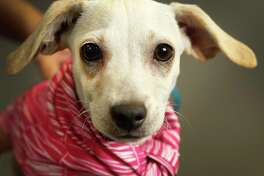 NO NAME (Animal ID: A514098) a 2-month-old, tan & white female, Chihuahua mix is available for adoption at the Harris County Animal Shelter, in Houston, Wednesday, August 8, 2018.