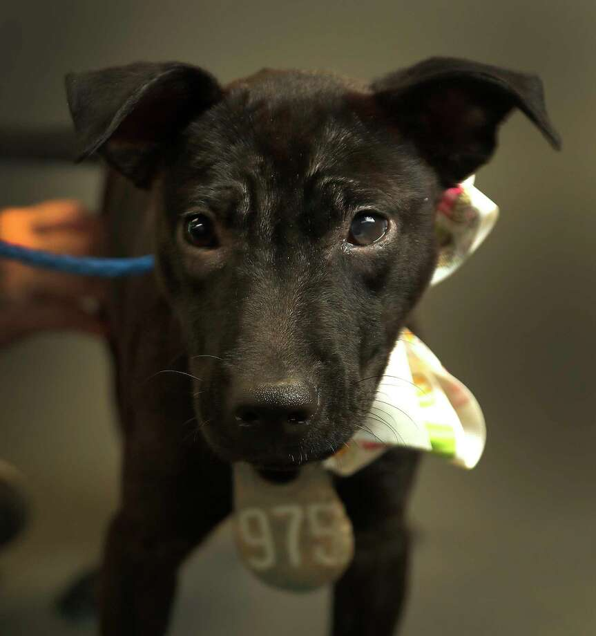 NO NAME (Animal ID: A514865) a 4-month-old, female, black Pit Bull mix is available for adoption at the Harris County Animal Shelter, in Houston, Wednesday, August 8, 2018. Photo: Karen Warren, Houston Chronicle / © 2018 Houston Chronicle