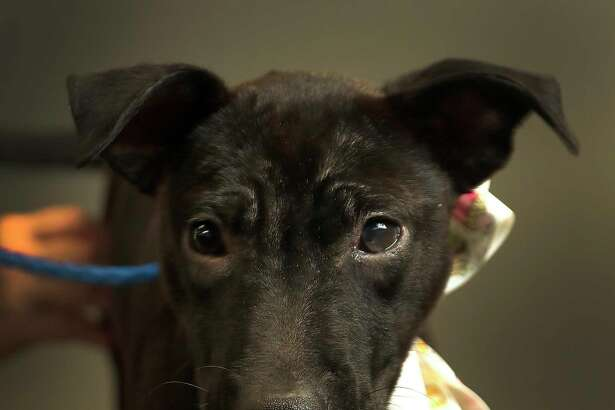 NO NAME (Animal ID: A514865) a 4-month-old, female, black Pit Bull mix is available for adoption at the Harris County Animal Shelter, in Houston, Wednesday, August 8, 2018.