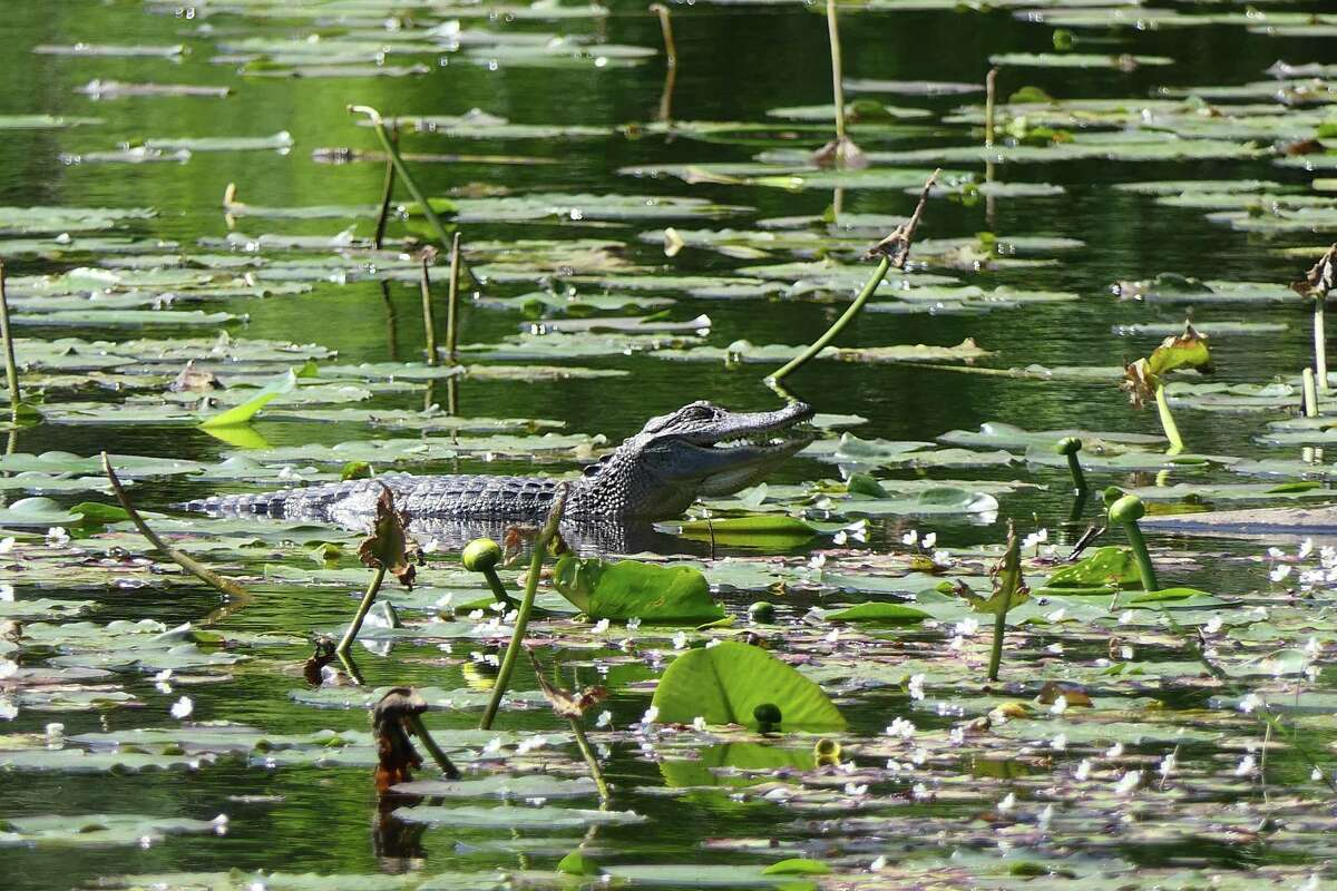 A young alligator has moved into the small pond at the Houston Arboretum & Nature Center