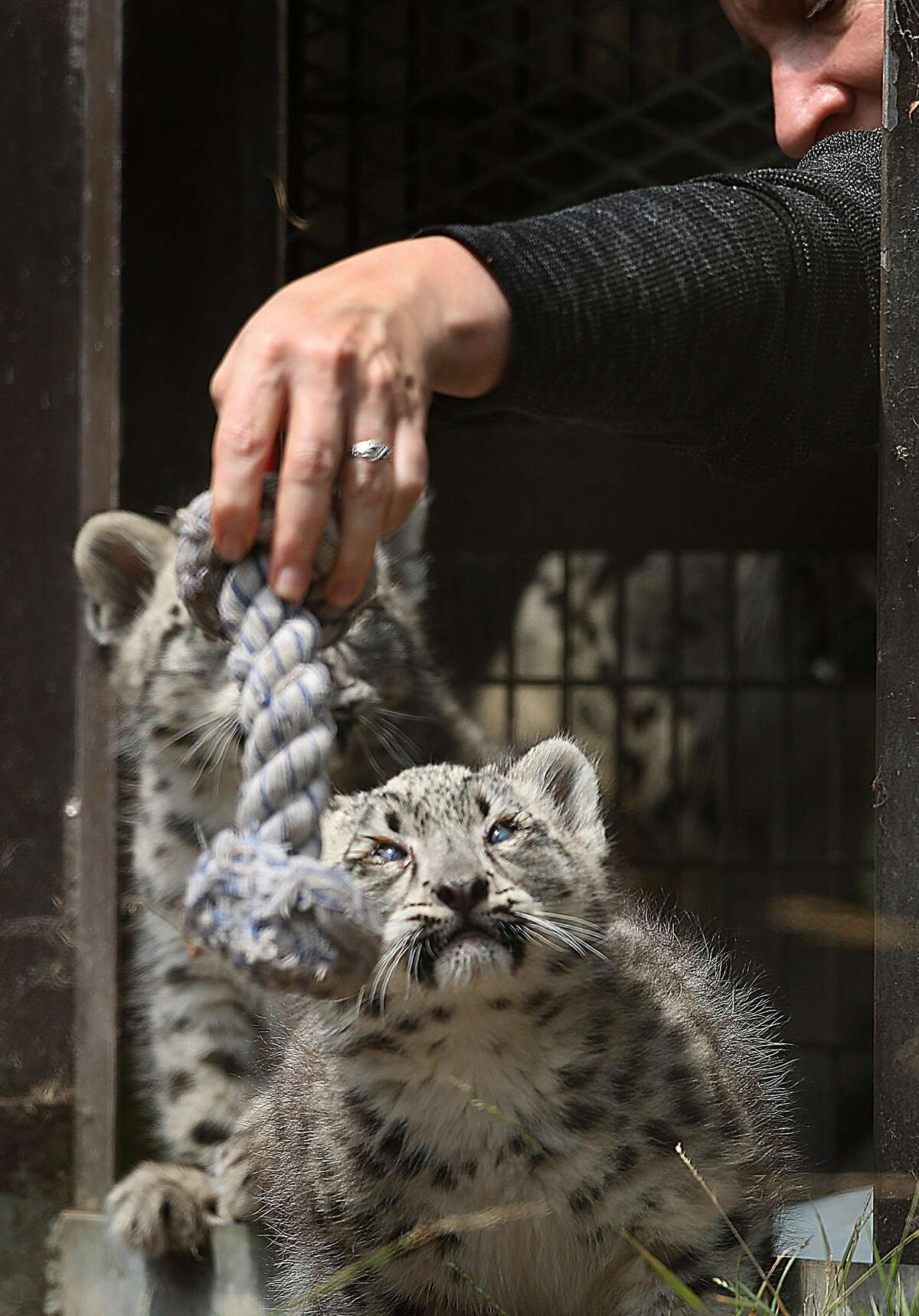 The San Francisco Zoo show two snow leopard cubs on Thursday, Aug. 9, 2018 in San Francisco, Calif.
